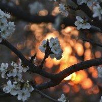 В цвете заката :: Леся Вишня