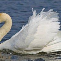 Лебедь... :: Mari Kush