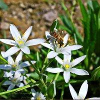 труженица пчела..... :: Юрий Владимирович