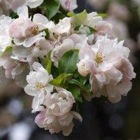 Я помню яблони в цвету... :: Михаил Юрьевич