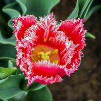 Махровый тюльпан :: Юрий Яловенко