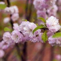 Сакура цветет :: Елена Васильева