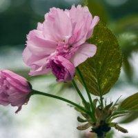 Сакура,первый цветочек! :: Варвара