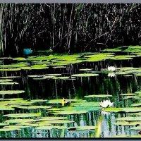 пруд,  где  лилии  цветут ! :: Ivana