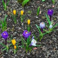 Первые цветы :: Игорь Герман
