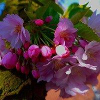 Цветы сакуры на стволе дерева :: Nina Yudicheva
