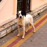 Белый Бим-черное ухо. :: Береславская Елена