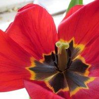 Мои тюльпаны в полном расцвете :: НаталиЯ ***