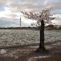 Cherry blossom (7) :: Юрий Матвеев