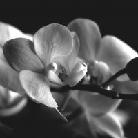 орхидея :: Татьяна Лапий
