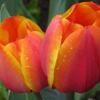 Тюльпаны после дождя. :: Вячеслав Медведев
