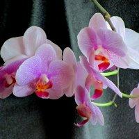 Орхидея-Фаленопсис :: Сергей Карачин