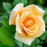 О розах - после дождя :: Galina