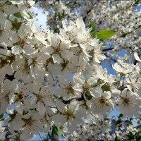 Пышное цветение дикой вишни :: Нина Корешкова
