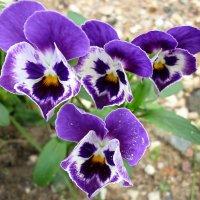 Весенние цветы :: Павлова Татьяна Павлова
