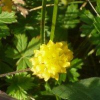 жёлтый цветочек :: tgtyjdrf