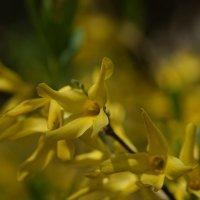 Цветок форзиции :: Balakhnina Irina