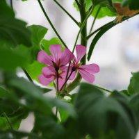 Цветок герани :: Сергей Тагиров
