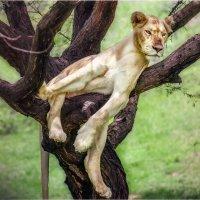 Царь...он и на дереве Царь...Танзания!!! :: Александр Вивчарик