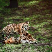 Тигровая молодь...Малайзия! :: Александр Вивчарик