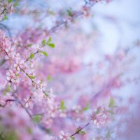 розовое дыхание весны :: Мария Корнилова