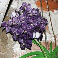 Орхидея. :: Софья Богаткина