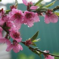 Персик в цвету :: Екатерина zZz