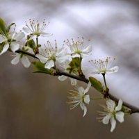 Весны цветение. :: владимир
