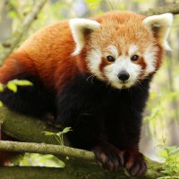 Малая панда :: Alexander Andronik
