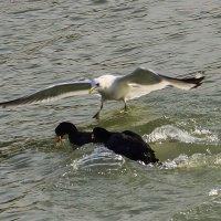 чайка атакует :: Олег Мартоник