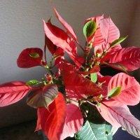Рождественская звезда 2 :: Виктор