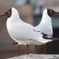 Две чайки стоят на гранитной ограде и смотрят в разные стороны, фон размыт :: Елена Мордасова