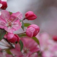 Цветёт декоративная яблоня :: Balakhnina Irina