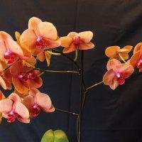 Орхидея :: Евгений Голубев