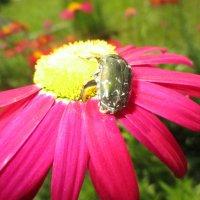 Жук на  цветке эхиноцея :: Valentina