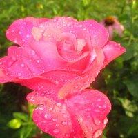 Розовая роза :: Valentina