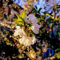 цветущие сады на закате :: Александр Прокудин