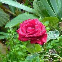 Роза после дождика :: Маргарита Батырева
