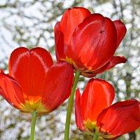 Тюльпани на віконечку, радіють ранковому сонечку. :: Степан Карачко