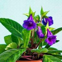 Глоксиния в цвету :: Анатолий Иргл