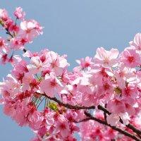 Сакура в парке Уэно :: Swetlana V