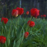 Дачные тюльпаны ... :: Игорь Малахов