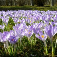 Цветение крокусов. :: Лия ☼