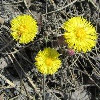 Первоцветы :: Galaelina
