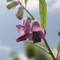 шмель на цветке :: maikl falkon