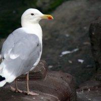 редкая птица в городе :: Олег Лукьянов