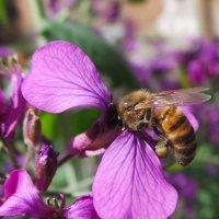 Пчелка :: Валентина Юшкова