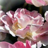 Тюльпан или роза? :: Ольга Голубева