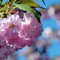 Нежные цветы сакуры :: Ольга Голубева