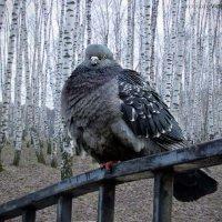 Русский голубь.... :: Виктор Перякин